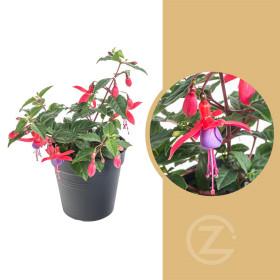 Fuchsie vzpřímená, Fuchsia, dvoubarevná, průměr květináče 11 cm
