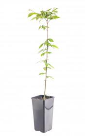 Habr obecný, Carpinus betulus, velikost kontejneru 2 l