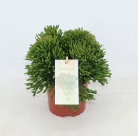 Hatiora, Hatiora salicornioides, průměr květináče 10 - 12 cm