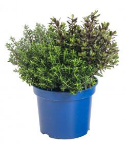 Hebe 4 friends, Rozrazilec Green Boys, čtyři druhy, průměr květináče 17 cm