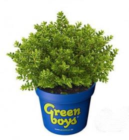 Hebe Joe, Rozrazilec Green Boys, průměr květináče 17 cm