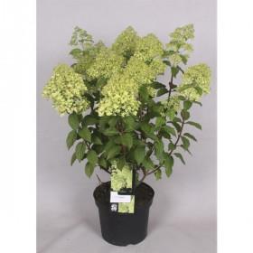 Hortenzie latnatá, Hydrangea paniculata Limelight, krémovo - zelená