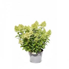 Hortenzie latnatá, Hydrangea paniculata Magical Candle, krémovo - růžová
