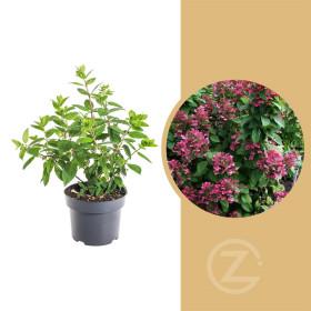 Hortenzie latnatá, Hydrangea paniculata Magical Fire, krémovo - červená