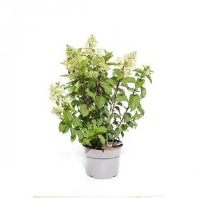 Hortenzie latnatá, Hydrangea paniculata Silver Dollar, bílo - růžová