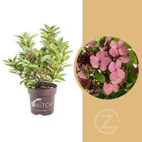 Hortenzie latnatá, Hydrangea paniculata Switch, bílo - růžová