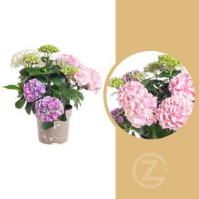Hortenzie velkolistá, Hydrangea macrophyla Three Sisters, vícebarevná