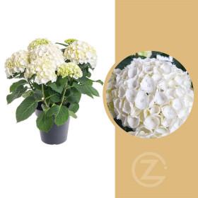 Hortenzie velkolistá, Hydrangea macrophylla, bílá, průměr květináče 14 - 15 cm