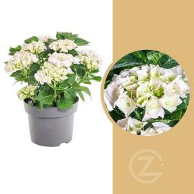 Hortenzie velkolistá, Hydrangea macrophylla, bílá, velikost kontejneru 5 l