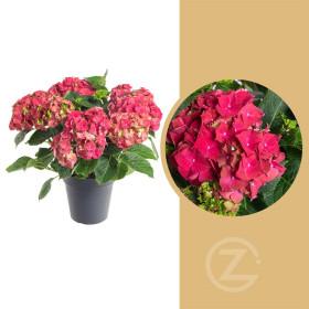 Hortenzie velkolistá, Hydrangea macrophylla, červená, průměr květináče 14 - 15 cm
