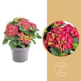 Hortenzie velkolistá, Hydrangea macrophylla, červená, velikost kontejneru 5 l