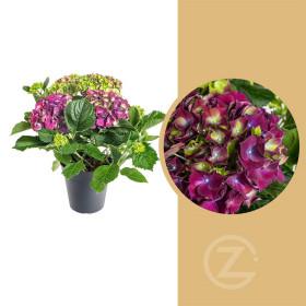 Hortenzie velkolistá, Hydrangea macrophylla, fialová, průměr květináče 14 - 15 cm