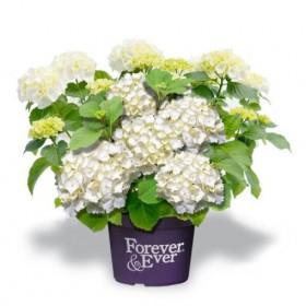 Hortenzie velkolistá, Hydrangea macrophylla Forever & Ever, bílá