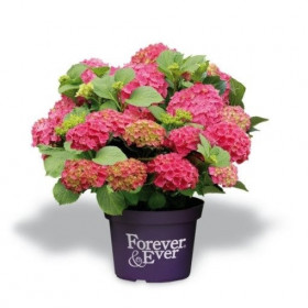 Hortenzie velkolistá, Hydrangea macrophylla Forever & Ever, červená