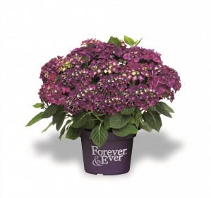 Hortenzie velkolistá, Hydrangea macrophylla Forever & Ever, fialová