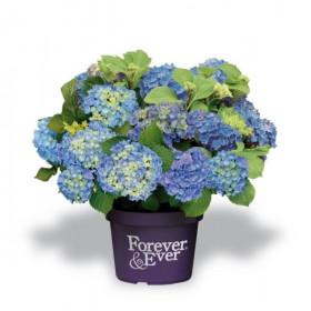 Hortenzie velkolistá, Hydrangea macrophylla Forever & Ever, modrá
