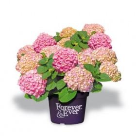 Hortenzie velkolistá, Hydrangea macrophylla Forever & Ever, růžová