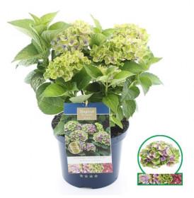 Hortenzie velkolistá, Hydrangea macrophylla Magical Amethyst, modrá, velikost kontejneru 5 l