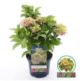 Hortenzie velkolistá, Hydrangea macrophylla Magical Amethyst, růžová, velikost kontejneru 5 l