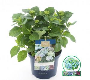 Hortenzie velkolistá, Hydrangea macrophylla Magical Revolution, modrá, velikost kontejneru 5 l