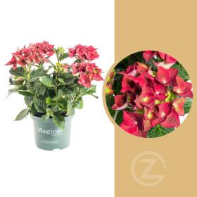 Hortenzie velkolistá, Hydrangea macrophylla Magical Sapphire, červená, velikost kontejneru 5 l