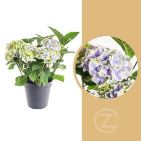 Hortenzie velkolistá, Hydrangea macrophylla, modrá, průměr květináče 14 - 15 cm