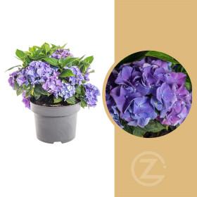 Hortenzie velkolistá, Hydrangea macrophylla, modrá, velikost kontejneru 5 l