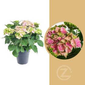 Hortenzie velkolistá, Hydrangea macrophylla, růžová, průměr květináče 14 - 15 cm