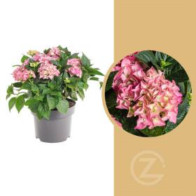 Hortenzie velkolistá, Hydrangea macrophylla, růžová, velikost kontejneru 5 l