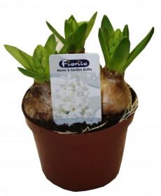 Hyacint bílý, rychlený, květináč 10 - 12 cm