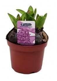 Hyacint fialový, rychlený, květináč 10 - 12 cm