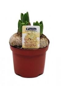 Hyacint žlutý, rychlený, květináč 10 - 12 cm