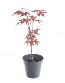 Javor japonský, Acer palmatum Atropurpureum, velikost květináče 10.5 cm