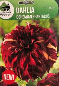Jiřina cibule, Dahlia Bohemian Spartacus, červeno - žlutá, balená, 1 ks