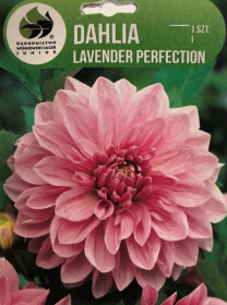 Jiřina cibule, Dahlia Lavender Perfection, růžová, balená, 1 ks