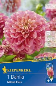 Jiřina cibule, Dahlia Milena Fleur, světle růžovo - žlutá, balená, 1 ks
