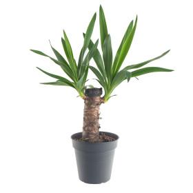 Juka pokojová, Yucca, 1 výhon, průměr květináče 14 cm