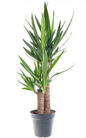 Juka pokojová, Yucca, 2-3 výhony, průměr květináče 17 cm