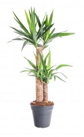 Juka pokojová, Yucca, 2-3 výhony, průměr květináče 21 cm