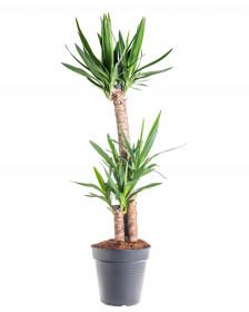 Juka pokojová, Yucca, 2-3 výhony, průměr květináče 27 cm