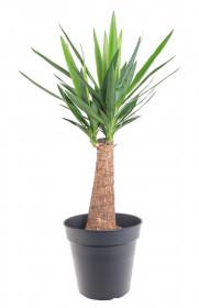 Juka pokojová, Yucca, na kmínku, průměr květináče 23 cm
