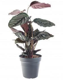 Kalatea, Calathea sanderiana, průměr květináče 17 cm