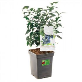 Kanadská borůvka, Vaccinium corymbosum Bluecrop, velikost kontejneru 5 l