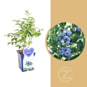 Kanadská borůvka, Vaccinium corymbosum Bluegold, velikost kontejneru 5 l