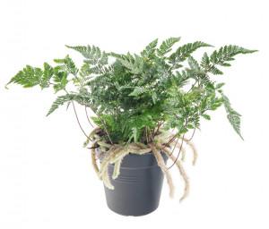 Kapradina pokojová, Humata tyermannii, průměr květináče 12 cm