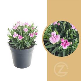Karafiát, Dianthus Pink Kisses, růžová, velikost květináče 10 - 12 cm