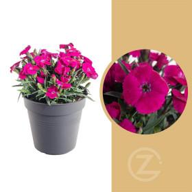 Karafiát, Dianthus Violetta, velikost kontejneru 1.5 l