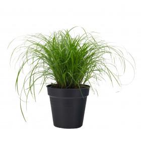 Kočičí tráva, Cyperus alternifolia Zumula, průměr květináče 10 - 12 cm