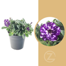 Kompaktní petunie, modro - fialová s bílými fleky, velikost květináče 10 - 12 cm