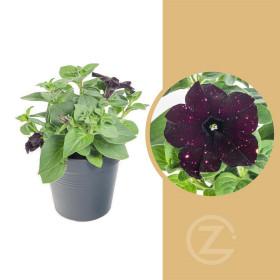 Kompaktní petunie, temně fialová s bílými fleky, velikost květináče 10 - 12 cm